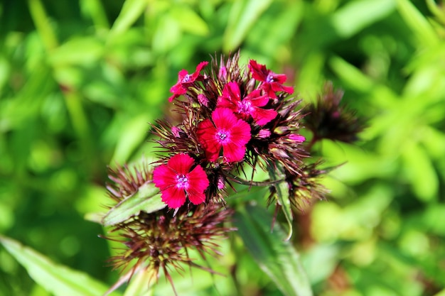 Turkish carnation dark red flower on a background of green leaves