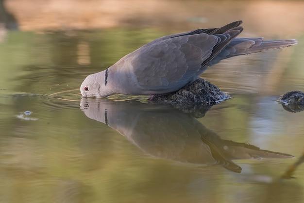 Турецкая горлица, питьевая вода в пруду
