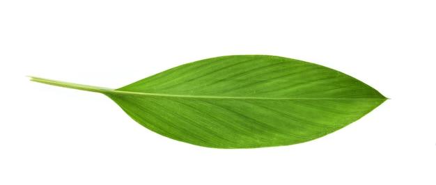 白い壁に分離されたウコンの葉