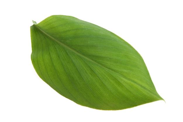 白い背景で隔離のウコン根茎緑の葉。