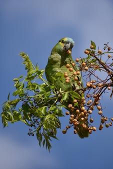 アオボウシインコ(amazona aestiva)が野生で餌をやる