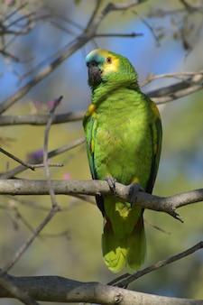 Turquoise-fronted amazon (amazona aestiva) in the wild
