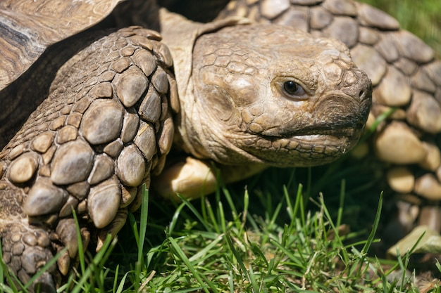 Turtle close up in the green grass