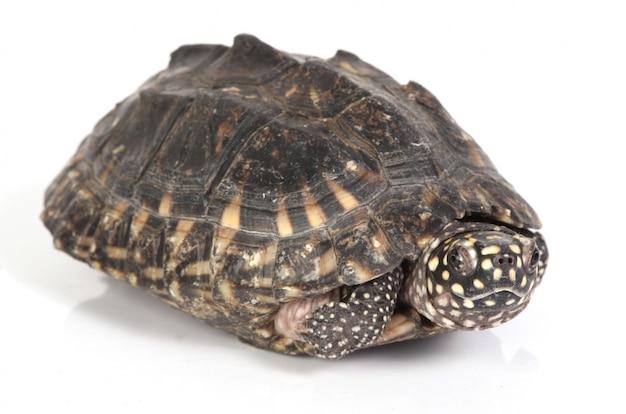 그의 껍질에서 나오는 거북이