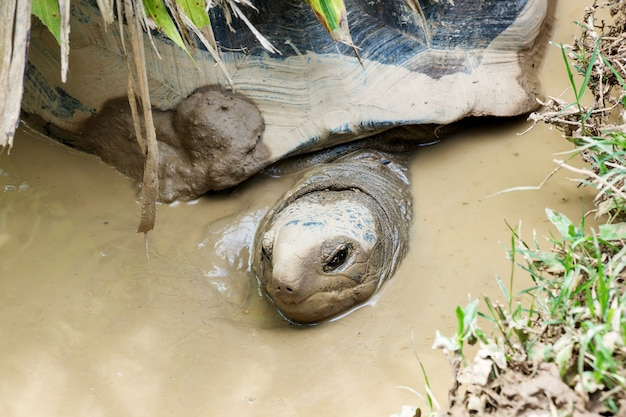 Turtle lying in a mud.