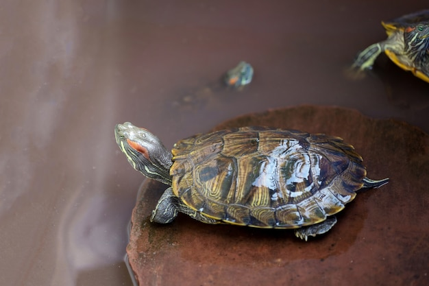 Черепаха на камне в воде