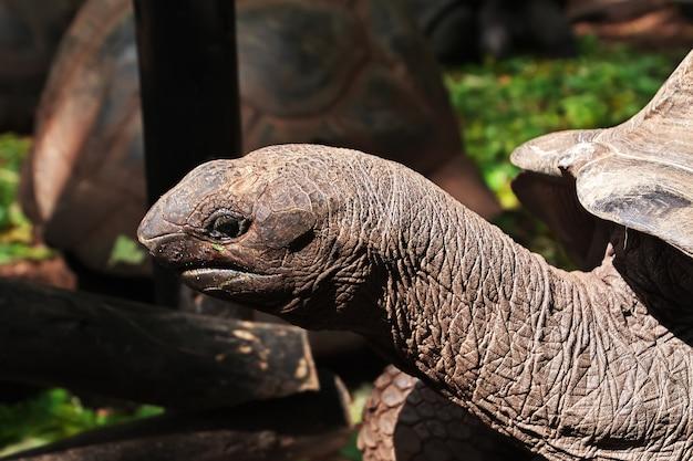 Черепаха на острове-тюрьме занзибара, танзания