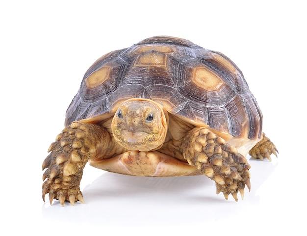 Черепаха на белом фоне