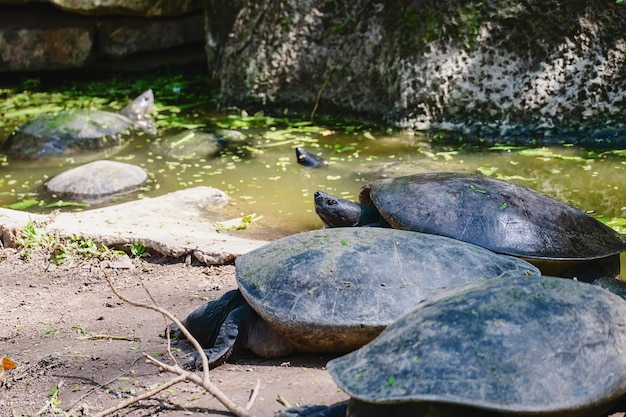 Turtle in the pond