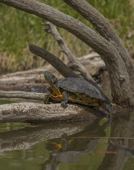 Turtle standing on a broken tree in the water