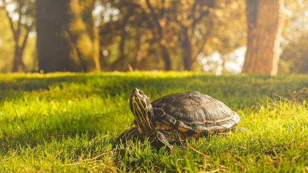 Turtle sunbathing on the grass in a forest on a sunny day.