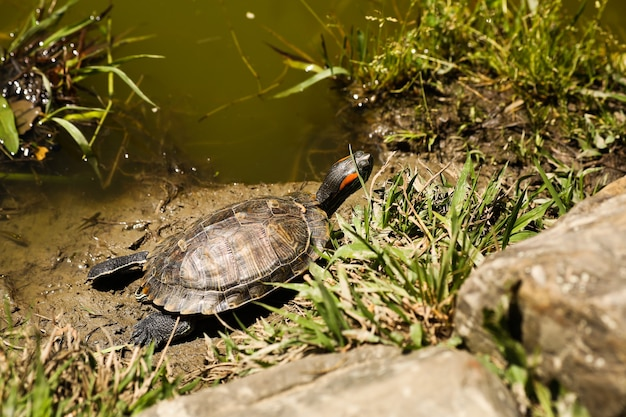 Turtle sunning on a log in the swamp doing funny yoga pose