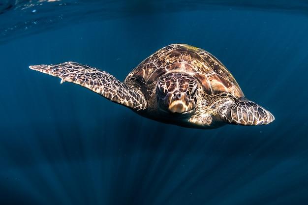 Turtle swim in blue sea