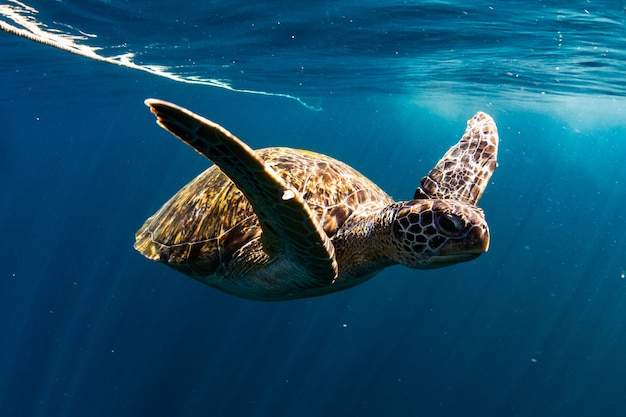 Купание черепахи в синем море
