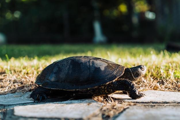 Turtle walking on grass.