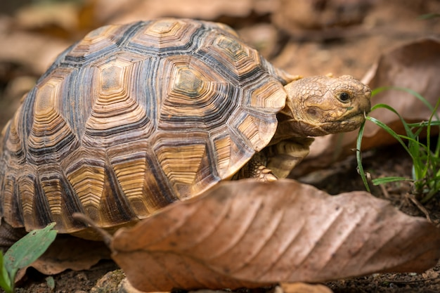 Turtle walks on the dry leaves in the forest
