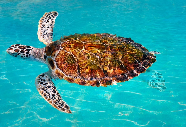 Turtles photomount in caribbean water
