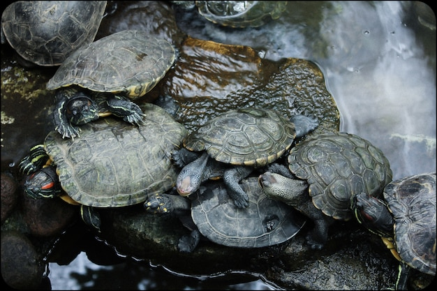 Turtles on the river