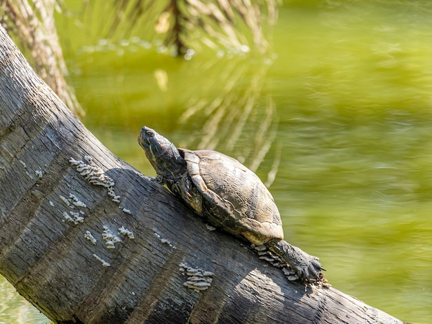 Turtles in the sun on the lake.