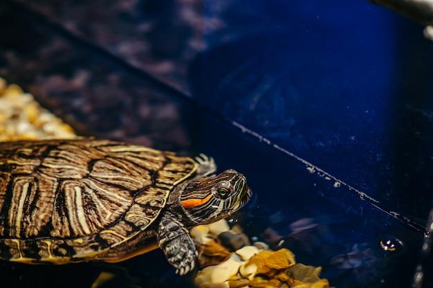 Turtles swim in aquarium
