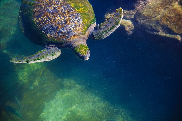 Turtles in the water on the red sea