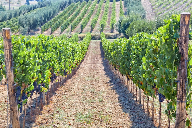 Tuscan vineyard with red grapes.