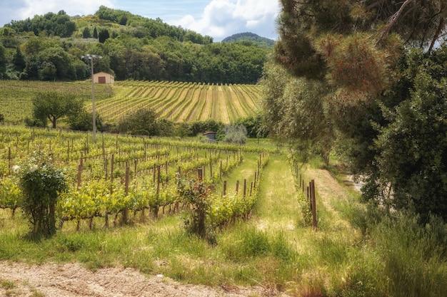 몬테풀치아노 토스카나 이탈리아 근처 투스카니 시골 풍경 밭 포도원 올리브 나무
