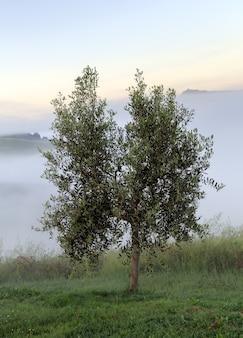 투스카니 이탈리아 안개 외로운 올리브 나무