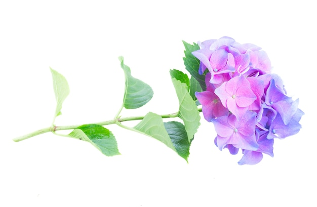 Twig of blue and violet hortensia flowers ans green leaves isolated on white
