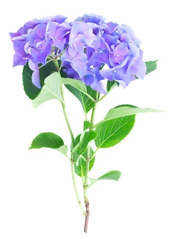 Twig of blue and violet hortensia flowers isolated on white