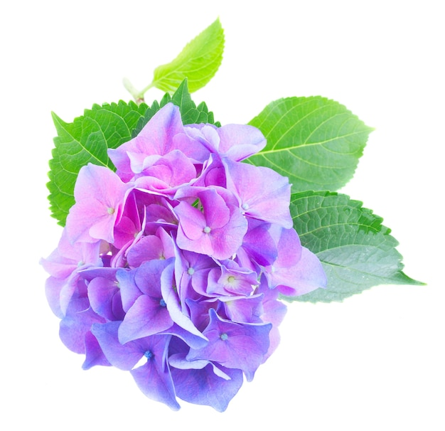 Twig of blue and violet hortensia fresh flowers isolated on white