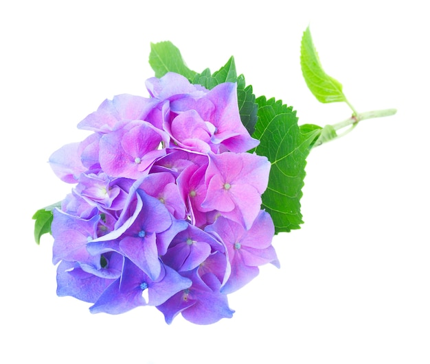 Twig of blue and violet hortensia fresh flowers and leaves isolated on white
