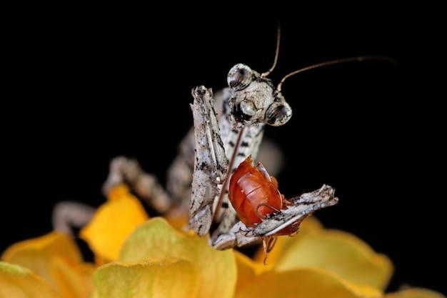 Primo piano di twig mantis popa spurca su sfondo nero primo piano di twig mantis popa spurca