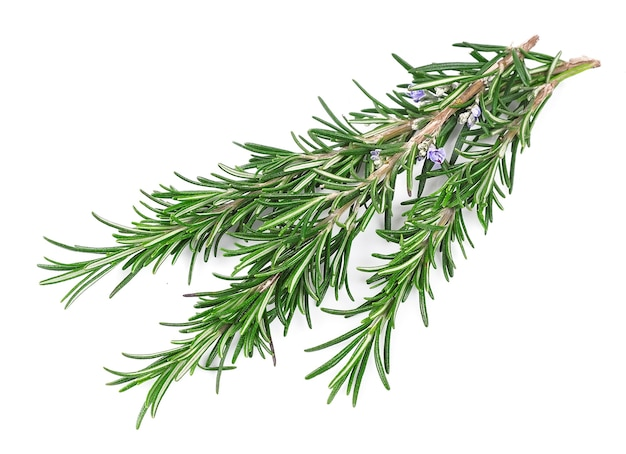 Twig of rosemary on a white wall