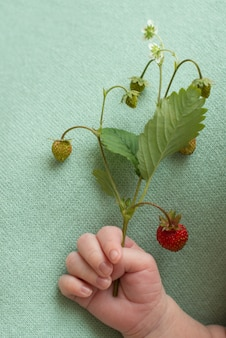 ブルーの背景に生まれたばかりの赤ちゃんの手に赤いイチゴの果実を小枝します。ビタミンの夏の収穫。子供のフルーツアレルギー。コピースペース。