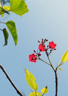 Twig with several bougainvillea flowers in the sun