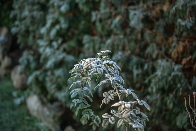 숲에서 서리가 내린 아침에 야생 식물의 나뭇 가지.