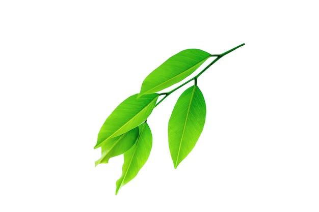 Веточки с красивыми зелеными листьями, изолированные на белом фоне.