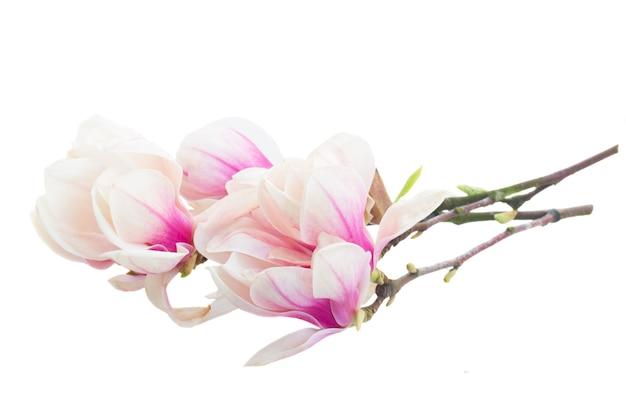 흰색 배경에 꽃이 만발한 분홍색 목련 나무 꽃과 나뭇 가지