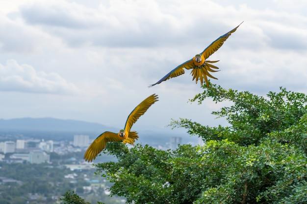 Twin macaw flying