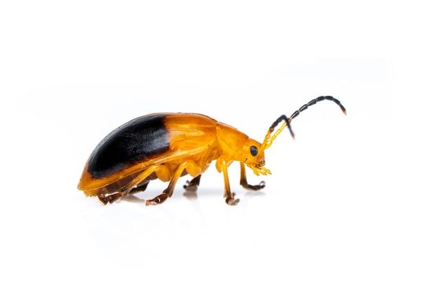 쌍둥이 발견 딱정벌레 (oides andreweisi) 절연. 동물. 곤충.