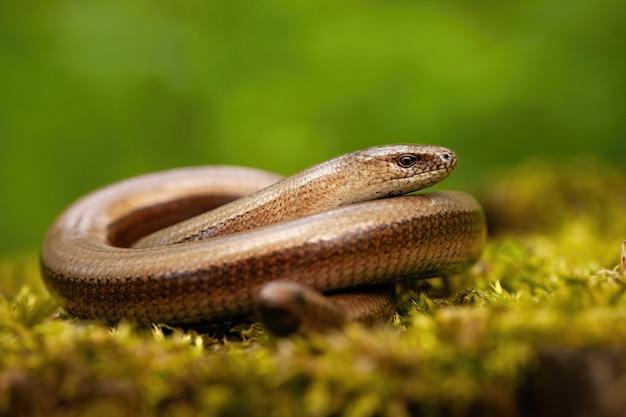 Скрученный медленный червь греется на зеленой замшелой скале в весенней природе.