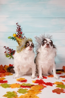 Two adorable chihuahua dogs wearing a new year conical hat on festive  .