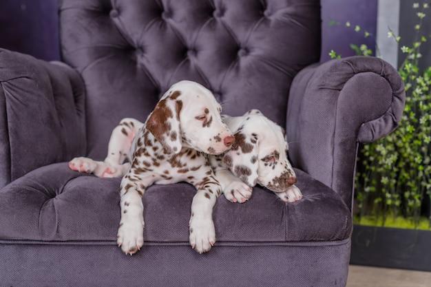 Два очаровательных далматинских щенка на стуле симпатичные домашние животные. две пятнистые собаки на стуле