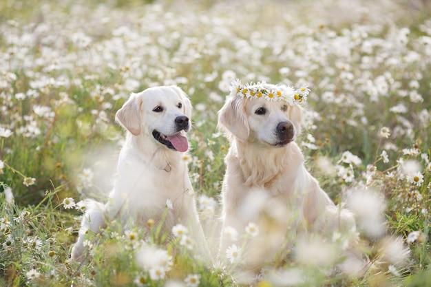 Две очаровательные собаки в поле ромашки