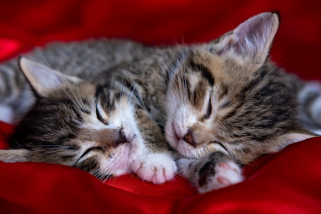 赤い毛布で寝ている横になっている2つの愛らしい縞模様の子猫。かわいいペットの猫、バレンタイン、クリスマスカード