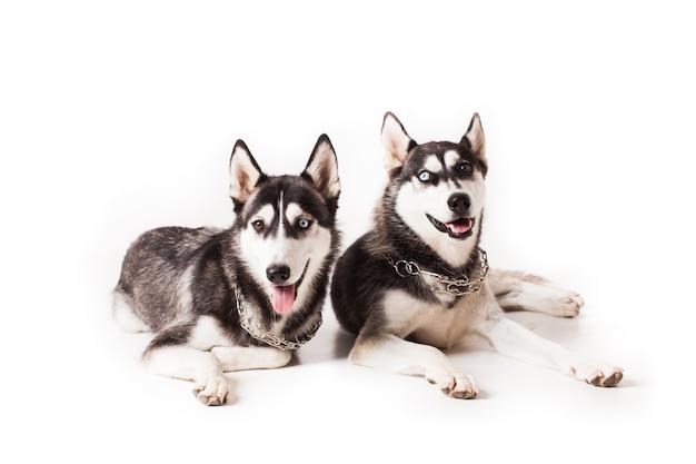Две взрослых собаки хаски с разноцветными глазами и цепью на шее, изолированные на белом