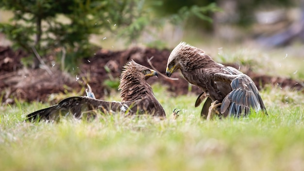 Two adult eagles in a territorial fight with winning bird looking at defeated