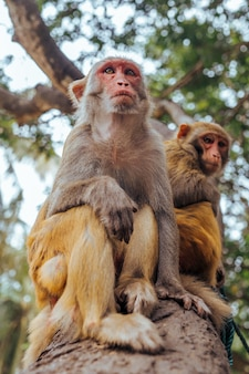 Two adult red face monkeys rhesus macaque in tropical nature park of hainan, china. cheeky monkey in the natural forest area. wildlife scene with danger animal. macaca mulatta.