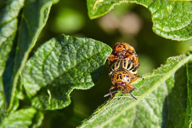 若い緑のジャガイモの葉を食べる2つの大人の縞模様のコロラド州カブトムシ。農地への害虫の侵入